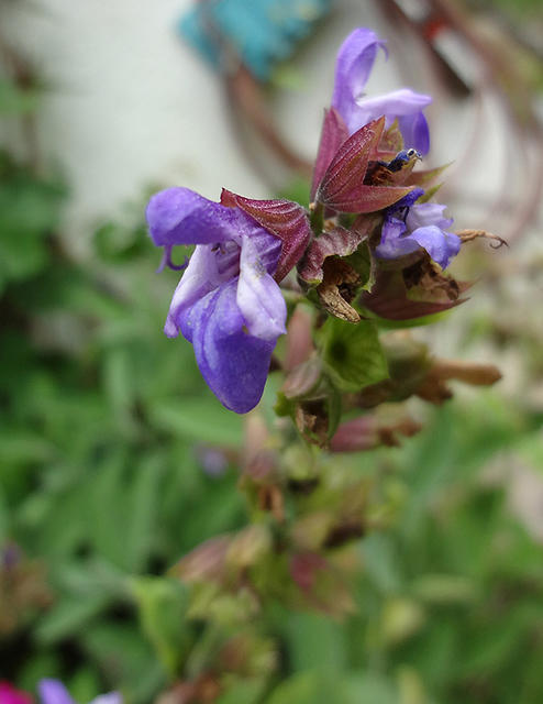Salvia officinalis/Echter Salbei
